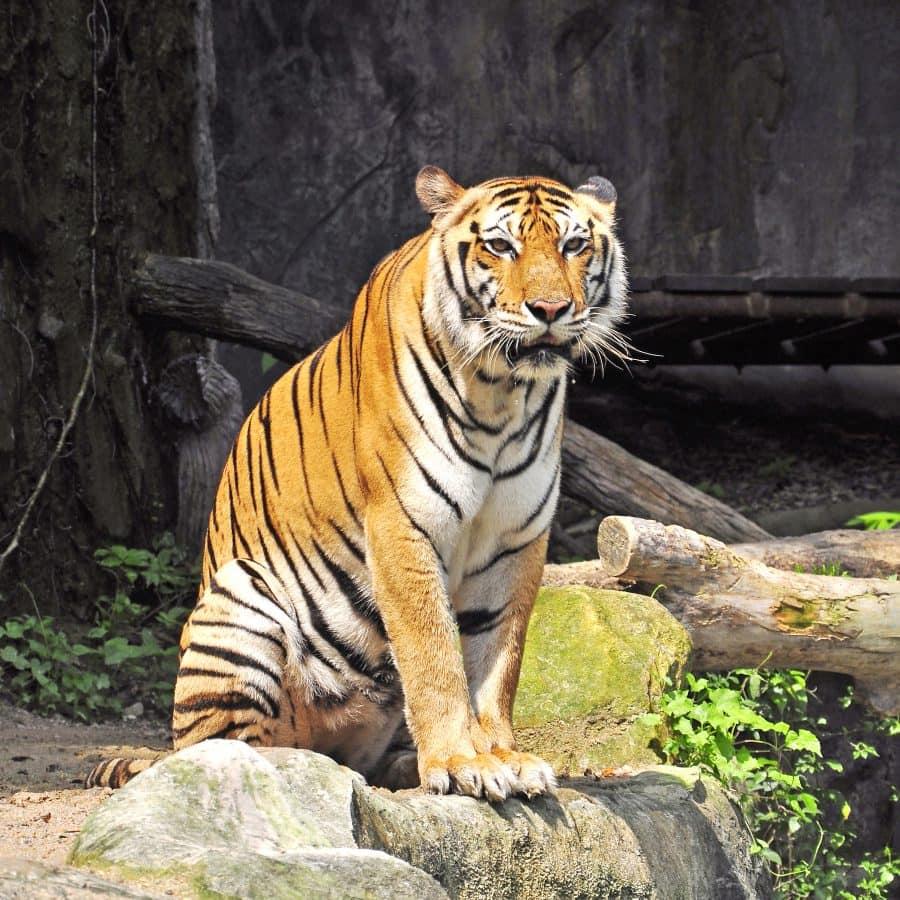 Tiger at Thailand 's Zoo